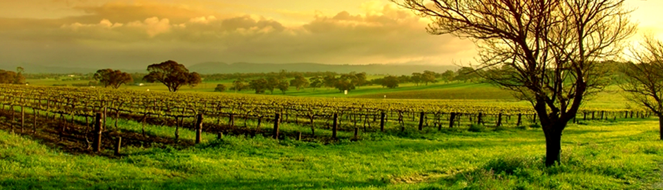 Vineyard_sunrise